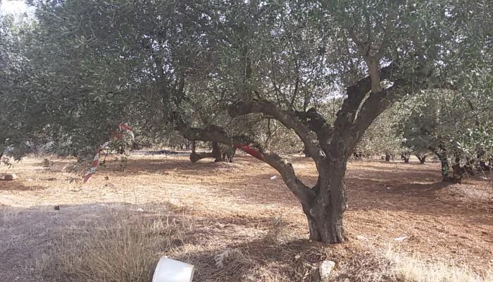Πρόταση για την καταπολέμηση  του δάκου της ελιάς και της Tuta Absoluta της τομάτας