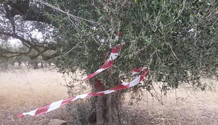Δήμος Χανίων: Έναρξη δεύτερου δολωματικού ψεκασμού για την καταπολέμηση του δάκου