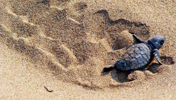 Τα χελωνάκια έκαναν την εμφάνισή τους στην Άμμο (φωτο+βιντεο)