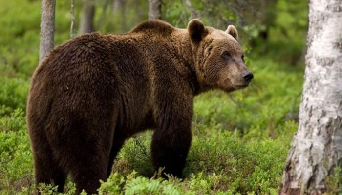 Φρικτός θάνατος για 11χρονο: Αρκούδες τον έσυραν στο κλουβί τους και τον κατασπάραξαν