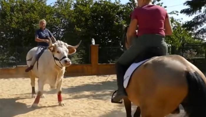 Γνωρίστε τον ταύρο που πιστεύει πως είναι άλογο