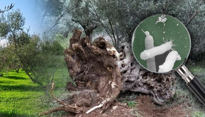 Ενημέρωση για την εξάπλωση του επιβλαβούς  οργανισμού καραντίνας Xylella fastidiosa»