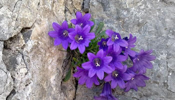 Το λουλούδι του Ολύμπου που δεν υπάρχει πουθενά αλλού!