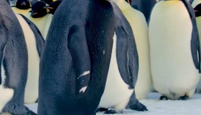 Σπάνιος μαύρος αυτοκρατορικός πιγκουίνος καταγράφηκε σε βίντεο