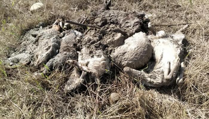 Σοκ! Νεκρά πρόβατα και σπασμένες κυψέλες στην εκβολή του Ταυρωνίτη  (φωτο)