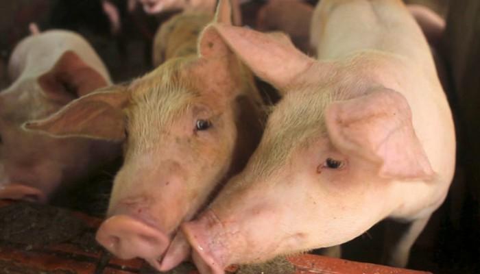Προσλήψεις 46 κτηνιάτρων για την πανώλη των χοίρων