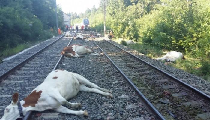 Τρένο χτύπησε αγελάδες στην ανατολική Γαλλία