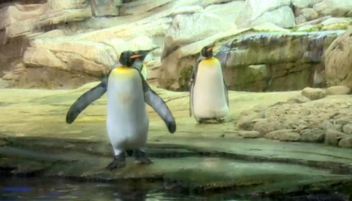 Στον ζωολογικό κήπο του Βερολίνου δύο ομοφυλόφιλοι πιγκουίνοι κλωσσούν ένα αυγό