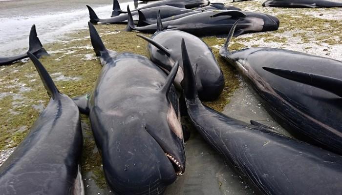 Περίπου 50 φάλαινες εκβράστηκαν στις ακτές της νότιας Ισλανδίας