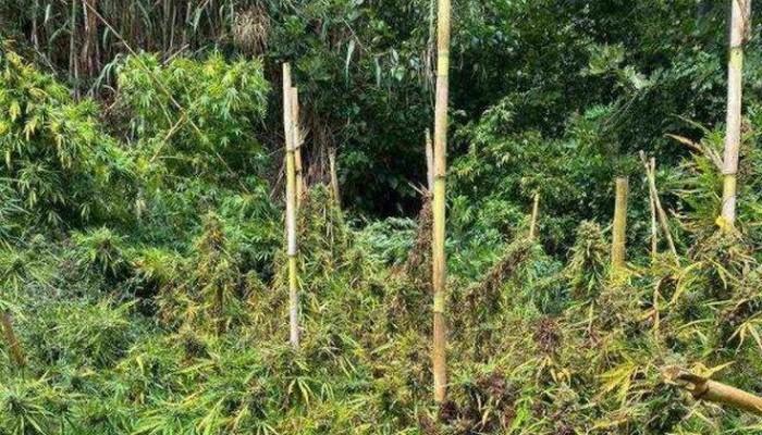 Εντοπίστηκε φυτεία κάνναβης στο Ηράκλειο - Αναζητούνται οι δράστες