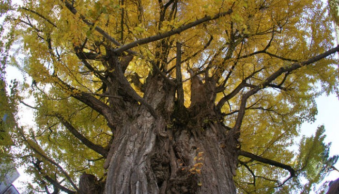 Το μυστικό που επιτρέπει στα δέντρα να ζουν ακόμα και χιλιάδες χρόνια