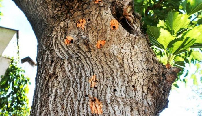 Ξυλοφάγο έντομο καταστρέφει τις μουριές, ξεκινά η καταπολέμησή του