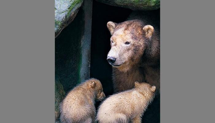 Η κλιματική αλλαγή ξυπνάει τις αρκούδες