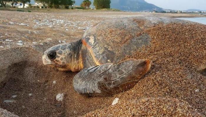 Δύο θαλάσσιες χελώνες εντοπίστηκαν νεκρές σε παραλίες της Καβάλας