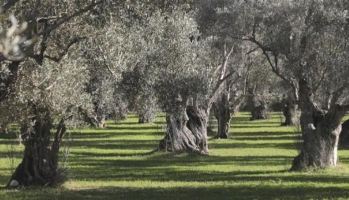 Δήμος Αποκορώνου: Σημαντική ζημία στην ανθοφορία των ελαιόδεντρων