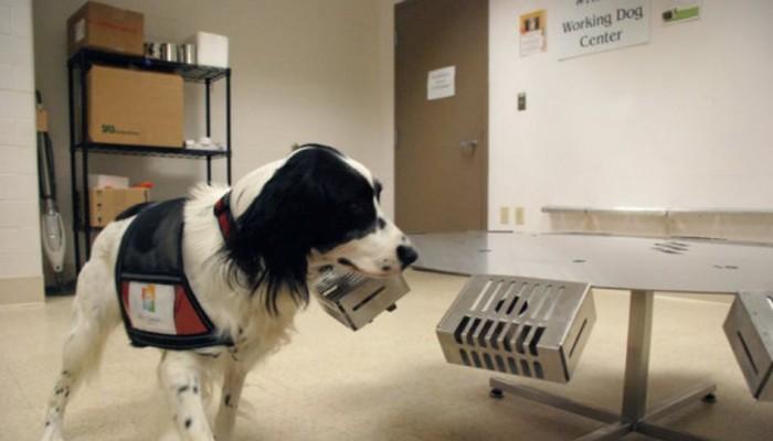 Οι Βρετανοί ερευνούν αν οι σκύλοι μπορούν να ανιχνεύσουν τον κορωνοϊό
