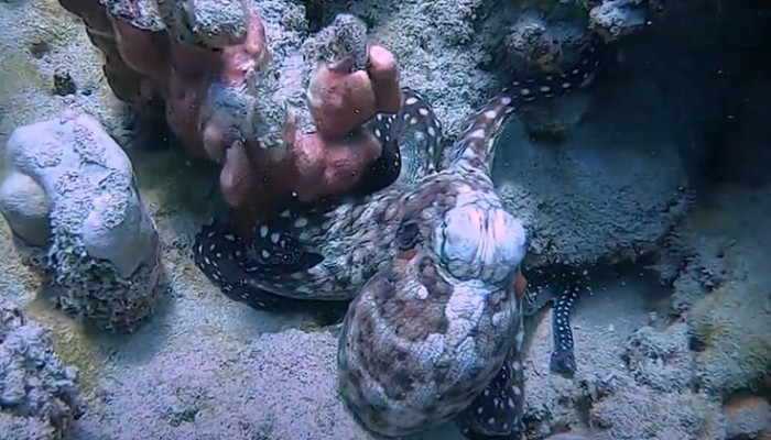 Το εντυπωσιακό καμουφλάζ χταποδιού σε κοράλι
