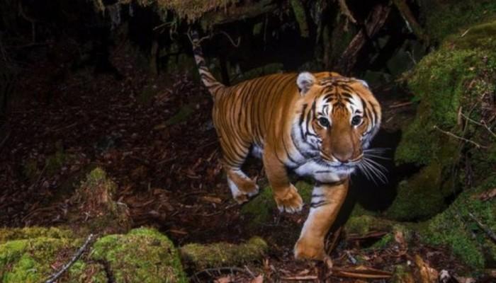WWF: Ο αριθμός των τίγρεων αυξάνεται - «Θεαματική επαναφορά» για το υπό απειλή είδος