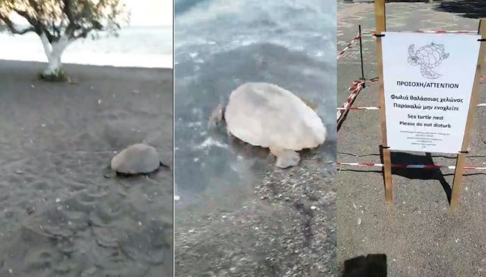 Χελώνα καρέτα - καρέτα γέννησε το πρωί σε παραλία στην πόλη της Ιεράπετρας (βίντεο)