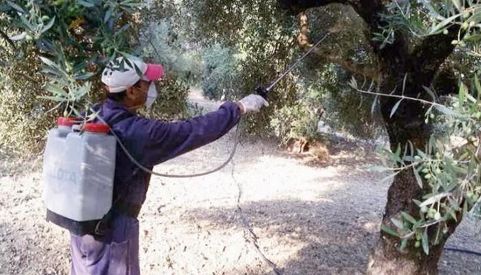 Έναρξη τρίτου δολωματικού ψεκασμού για την καταπολέμηση του δάκου στον Δήμο Χανίων