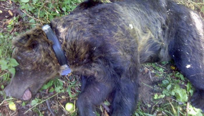 Μεγαλόσωμη αρκούδα στη Φλώρινα παγιδεύτηκε σε θηλιά για αγριογούρουνα