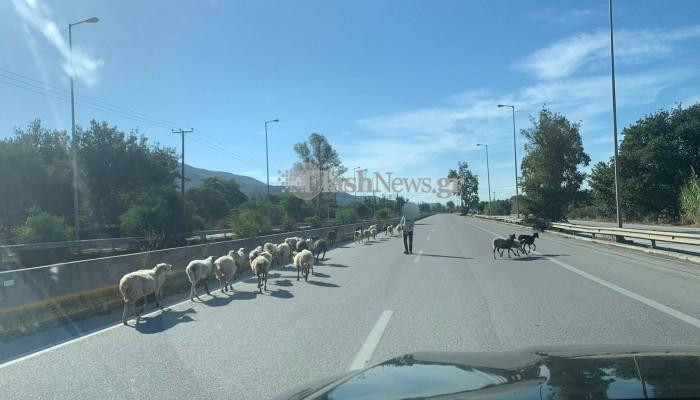 Απιστεύτες εικόνες!Πρόβατα μαζί με τον βοσκό κινούνται πάνω στην εθνική οδό Χανίων! (φωτο)