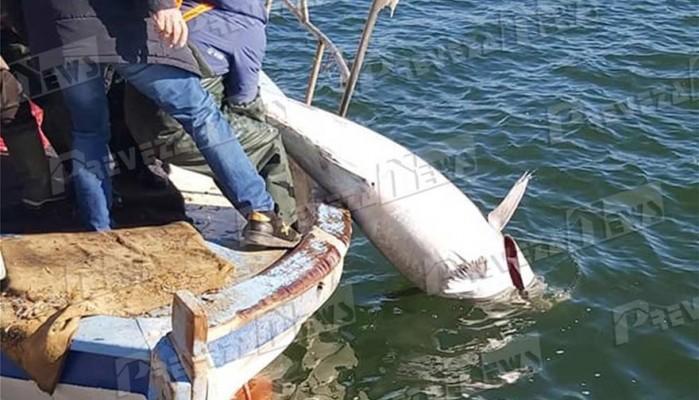 Μεγάλη ψαριά στην Πρέβεζα: Τόνο 130 κιλών έβγαλε ψαράς