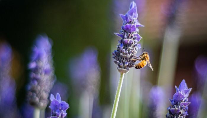 Ολλανδία: Ερευνητές εκπαίδευσαν μέλισσες για να εντοπίζουν τον κορωνοϊό