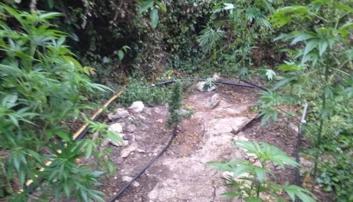 Εντοπίστηκε καλλιέργεια δενδρυλλίων κάνναβης στο Ρέθυμνο (φωτο)