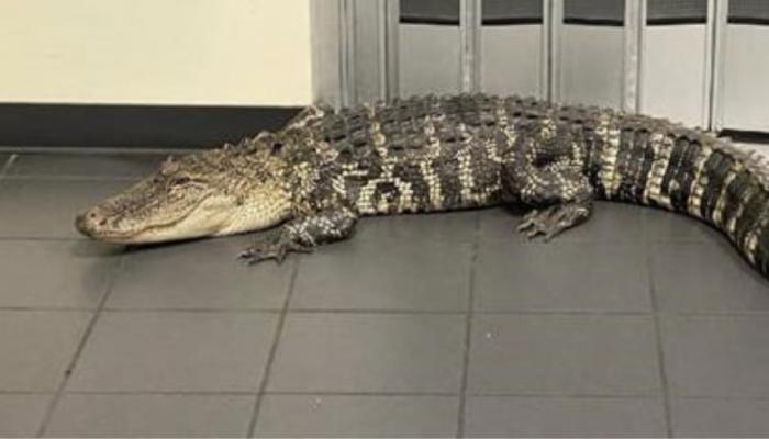 Τρόμος σε ταχυδρομείο στη Φλόριντα λόγω εισβολής... αλιγάτορα