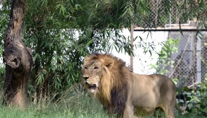 Κένυα: «Χάος» επικράτησε στους δρόμους μετά την απόδραση λιονταριού από εθνικό πάρκο (vid)