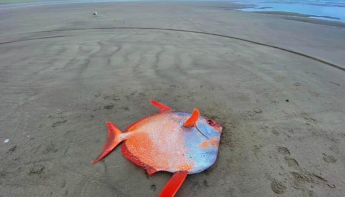 Πολύχρωμο τροπικό ψάρι 45 κιλών ξεβράστηκε σε ακτή του Όρεγκον (φωτο)