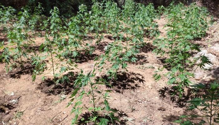 Μια ακόμη φυτεία κάνναβης εντοπίστηκε στον  Μυλοπόταμο – Δύο συλλήψεις (φωτο)