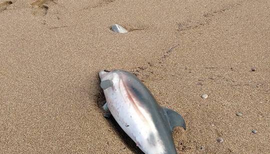 Νεκρό δελφίνι ξεβράστηκε σε παραλία της Κισάμου (φωτό)