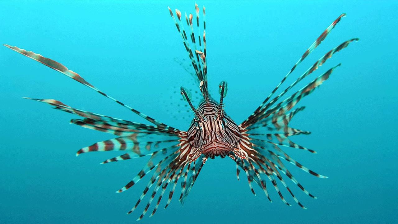 Ψαροντουφεκάς έπιασε επικίνδυνο λεοντόψαρο στη νότια Κρήτη ...
